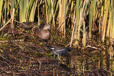 Sora in back, Moor Hen if foreground