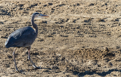 Great Blue Heron with his eye on a gopher