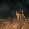 Coyote Brothers at Las Gallinas Ponds in San Rafael CA