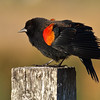 Red-winged Blackbird, Las Gallinas ponds, San Rafael, California