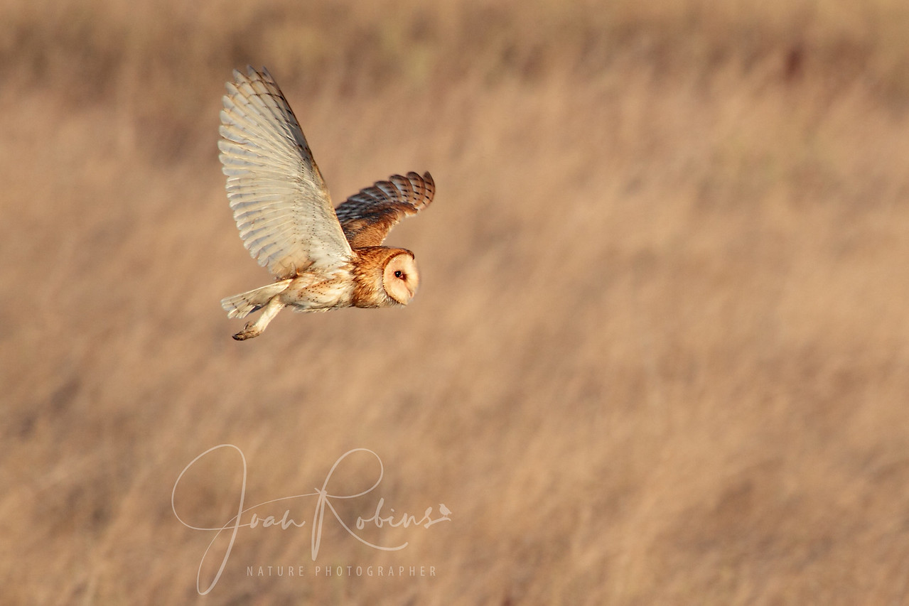 Barn Owl, Las Gallinas ponds, San Rafael, California