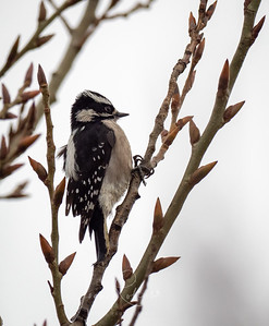 Downy Woodpecker Las Gallinas Ponds