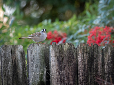 Back yard White-crowned Sparrow
