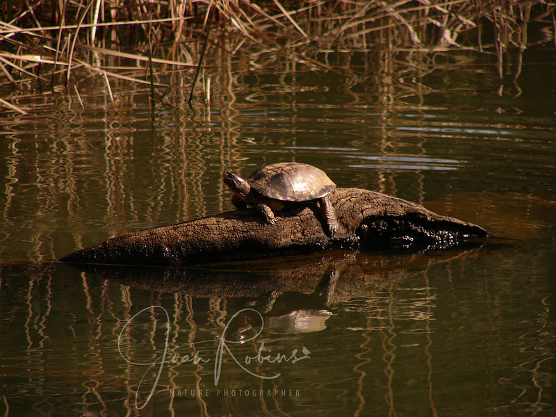 Turtle at Lake Lagunitas