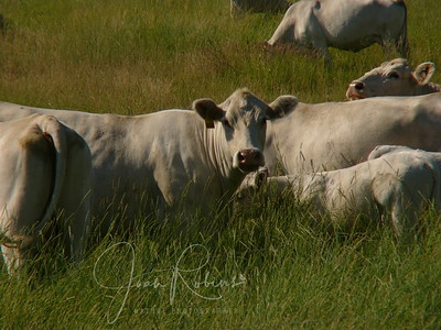White Cows of Montana