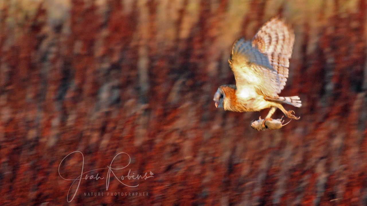 Barn Owl with prey in the sunrise, Las Gallinas, San Rafael, California