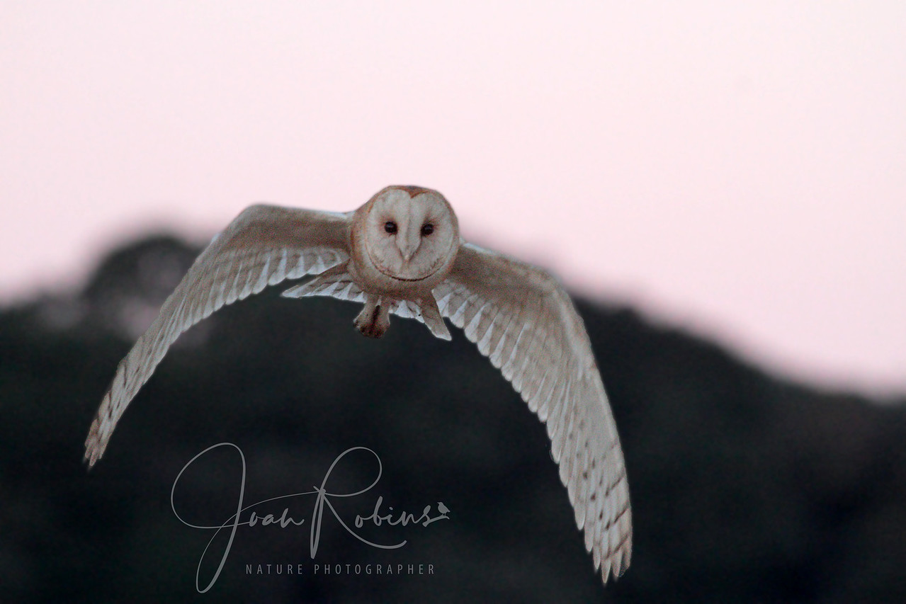 Barn Owl at Sunrise, Las Gallinas ponds, San Rafael, California