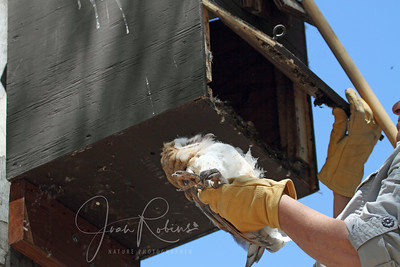 Anne returns the owlet to the box. We hope he will stay there for a while.