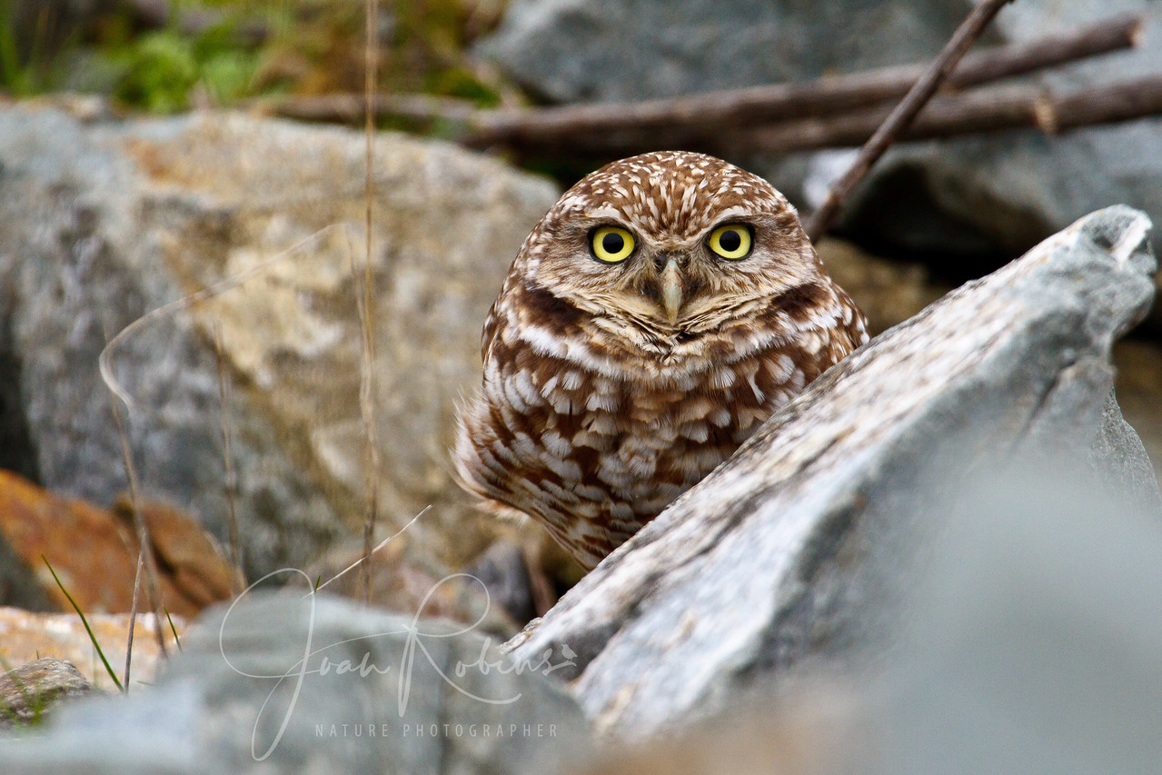 Burrowing Owl, San Rafael, California