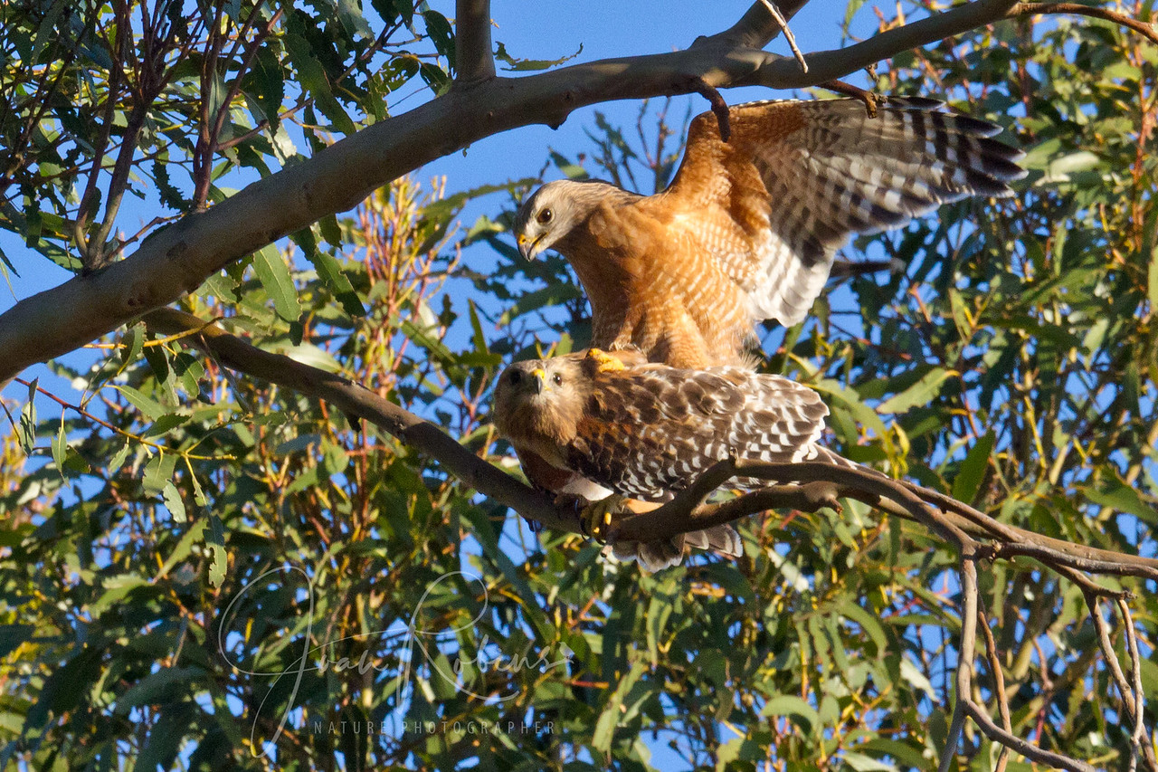 Red-shouldered Hawks mating, San Rafael, California