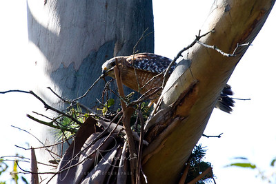 March 29 Displaced Red-shouldered Hawk frantically building her nest--no doubt eggs ready to drop any minute.