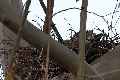 April 28, we find the Red-shoulder Hawk nest in the Star Academy area.