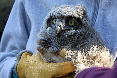 Heavy gloves protect handlers from those budding claws. Wildcare rescues a chick that has fallen. San Rafael, California