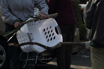 Alex and Ann come prepared to put the chicks in their new home, a laundry basket.