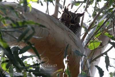 Wildcare and the Hungry Owl were going to return the chicks to the nest that evening. When I arrived, poor Mom was hovering near by. But when the huge cherrypicker truck arrived, she took off for the woods.