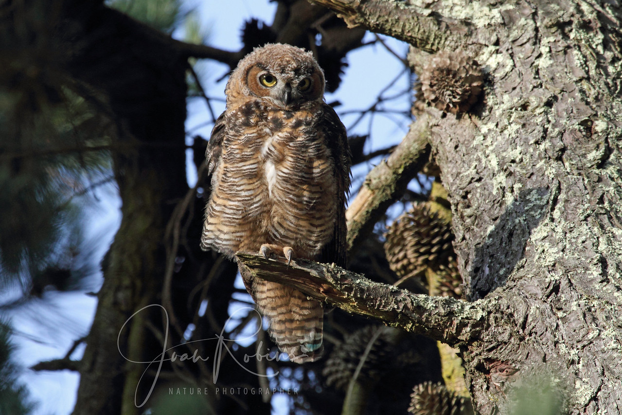 Young Owl, Golden Gate Park, San Francisco, California