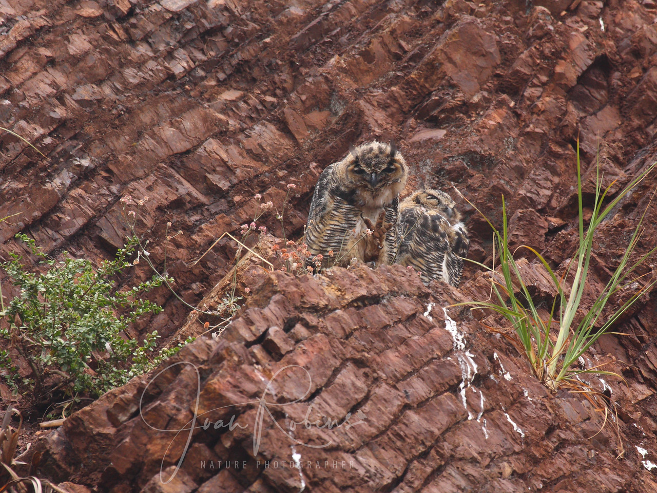 Great-horned Owls, Fort Cronkhite, California