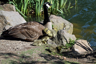 Canada Geese and Goslings relaxing between bouts with dogs off leash