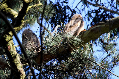 Two older owlets already out on a branch (different nest)
