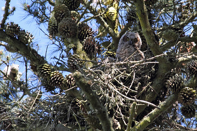 One of 4 Owlets high in the nest