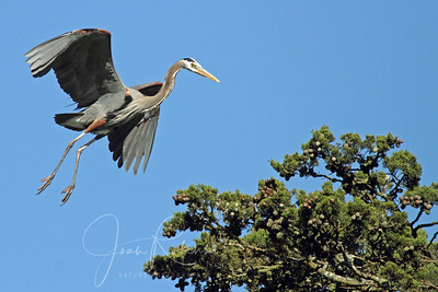 Great Blue with a tiny branch for the nest