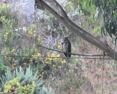 Great-Horned Owl--we watch him or her with chicks for an hour or so, through the poison oak and tick infested tall grass. Fun!