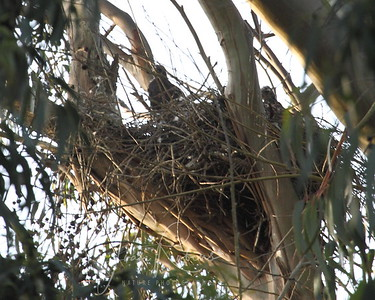 Hawk chicks in a nest--not sure what kind.