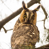 Curious Long-eared Owl