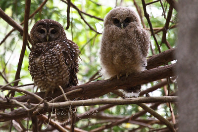 Spotted Owl and chick, San Rafael, California