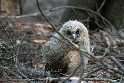 Marcy and I went to watch the Spotted Owls 2014