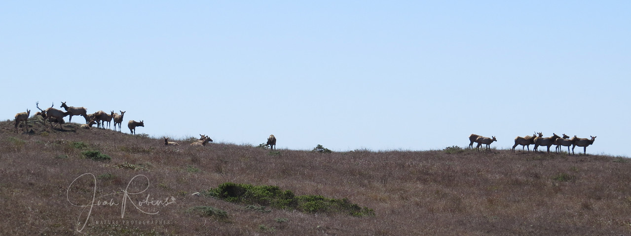 Point Reyes Elk Preserve, California