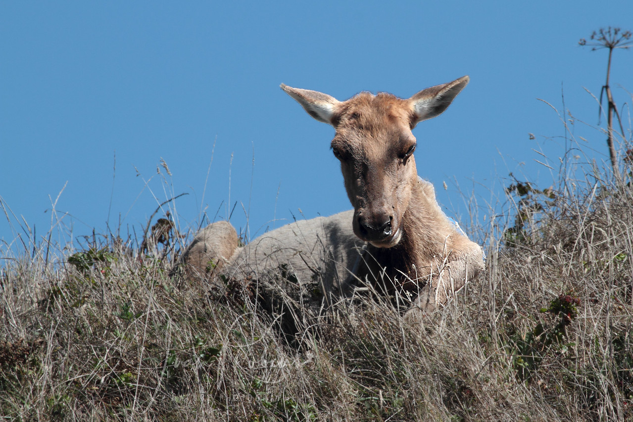 Young Elk, Point Reyes Elk Preserve, California