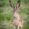 Next few pictures show a little mating ritual, Black-tailed Jackrabbit variety