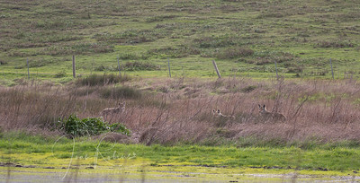 This time, coyote courtship, with a problematic young one in the way