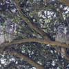A Twofer! Great-horned Owls.