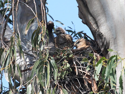 May 25, 2009 Mom or Dad in nest with chicks.