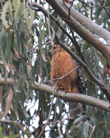 May 6, 2009 Red-shouldered Hawk in Parking Lot