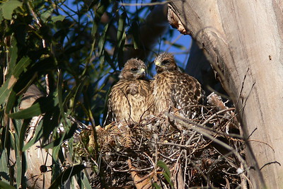 Red-shouldered Hawk chicks, San Rafael, California