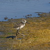Black-necked Stilt chick, Rush Creek, Novato, California