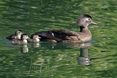 Mom Wood Duck and chicks, Sacramento, California