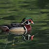 Wood Duck, Sacramento, California
