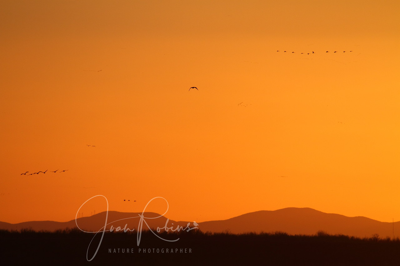 Sandhill Cranes in the sunset, Lodi, California