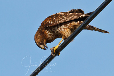Red-shouldnered Hawk with unidentifiable breakfast