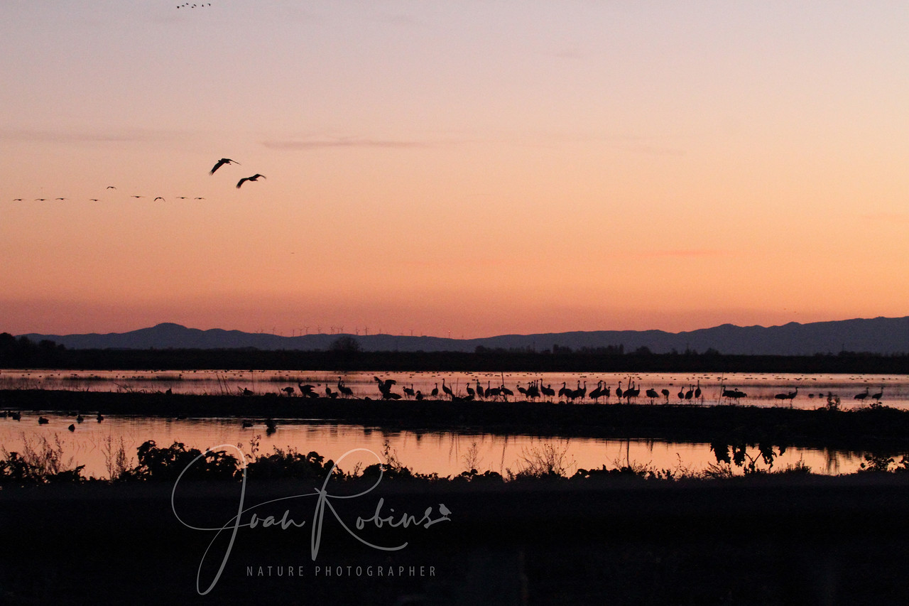 The calls of cranes, geese, and the whooshing  sounds of swans flying overhead filled the air, Lodi, California