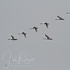 Snow Geese in the fog