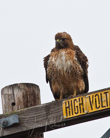 A very damp Redtail