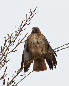 Another Redtail drying off