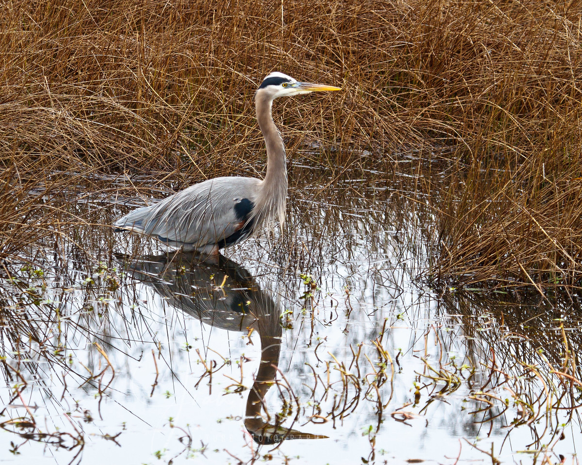 Great Blue Heron, Lodi, California