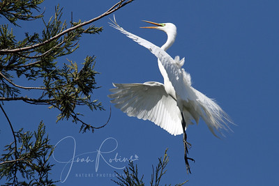 Egret, 9th Ave. Santa Rosa, California