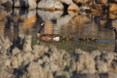 Oops, these Goslings are from Rush Creek in Novato--not Santa Rosa